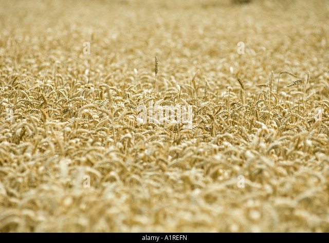 Field of wheat - Stock Image
