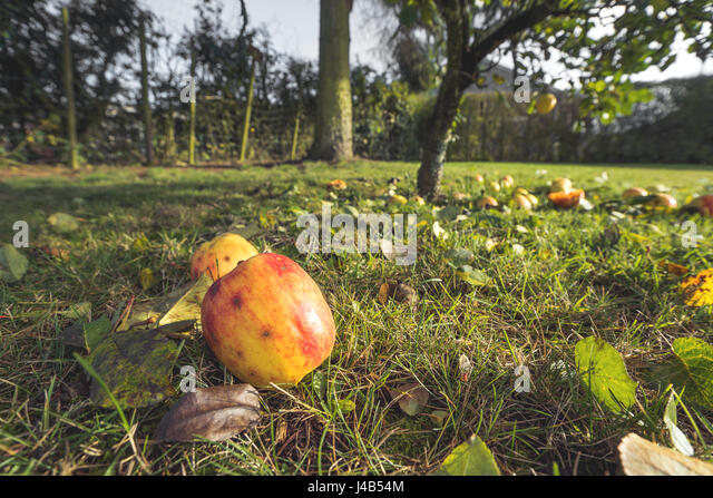 Apples in autumn colors on the ground in a garden in autumn with fallen leaves and apple trees in the fall - Stock Image