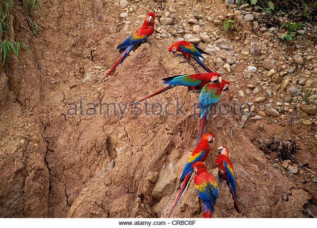 Scarlet & green-winged macaws on lick, Tambopata River region, Peru - Stock Image