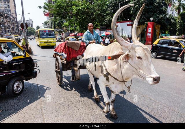 Mumbai India Indian Asian outside Mumbai Central Railway Station brahma Brahman bull ox oxen pulling cart - Stock Image