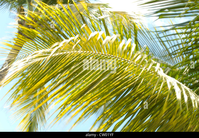 Palm fronds, rustling in the wind - Stock Image