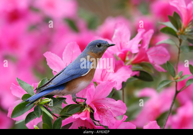 Eastern Bluebird Perched on Azalea Blossoms - Stock Image