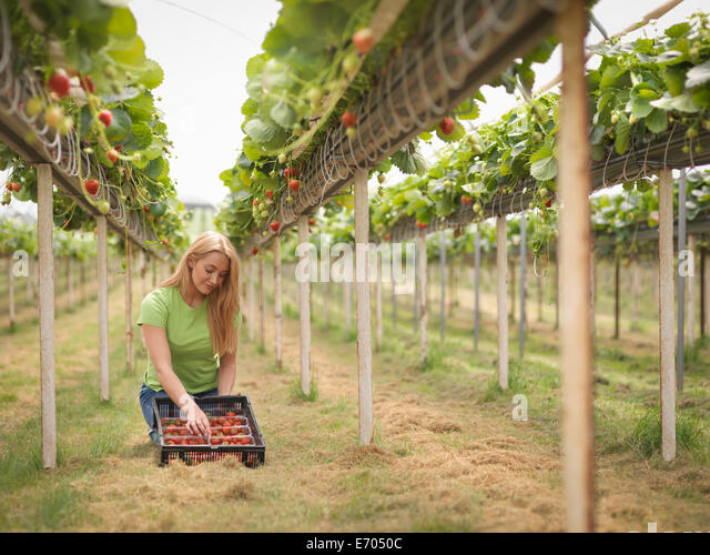 Worker picking strawberries in polytunnel on fruit farm - Stock Image