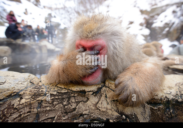 A Japanese Macaque, reacting exhausted due to all the papparazzi. - Stock Image