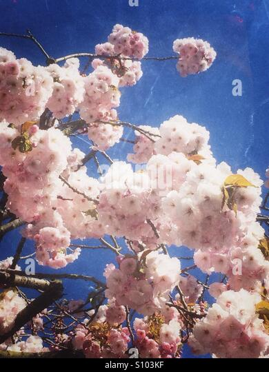 Light pink cherry blossom flowers - Stock Image