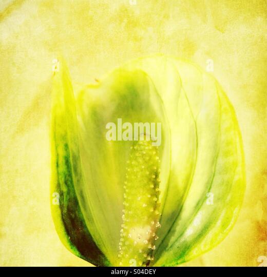 Anthurium flower - Stock-Bilder