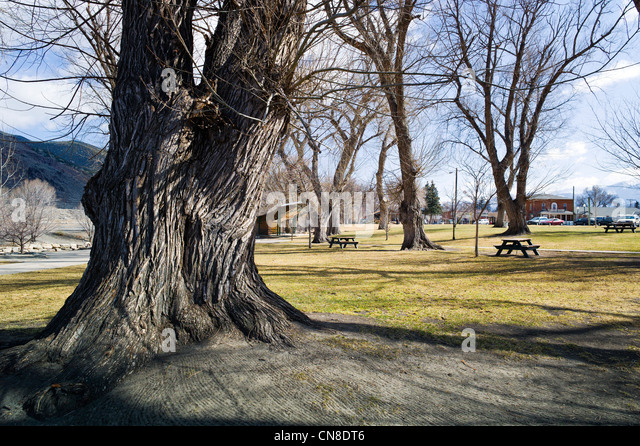 Rough textured bark on old Willow Trees, Riverside Park, Salida, Colorado, USA - Stock Image