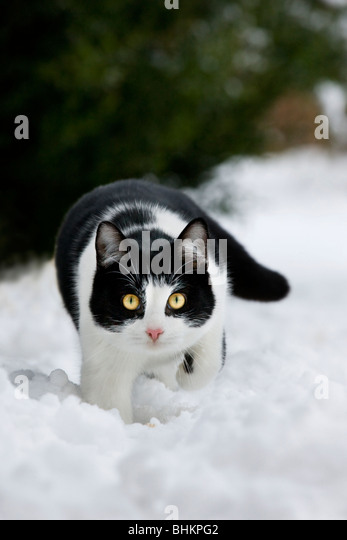 House cat (Felis catus) in garden in the snow in winter - Stock Image