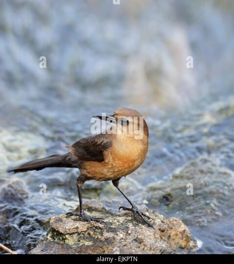 Boat-Tailed Grackle Female On A Rock - Stock-Bilder