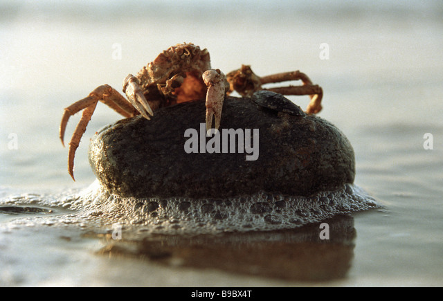 A Khasaranius crab victim of the eco catastrophe on the White Sea shore - Stock Image