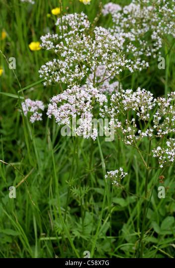 Common Valerian, Valeriana officinalis, Valerianaceae. - Stock Image