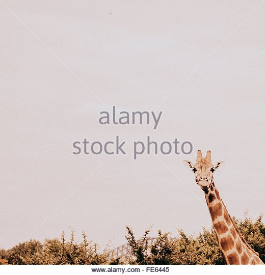 Giraffe Against Clear Sky - Stock Image