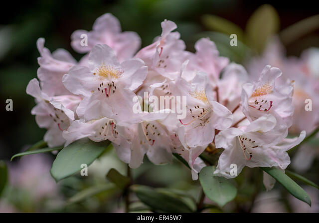 Pinkish rhododendron bashful flowers close up - Stock Image