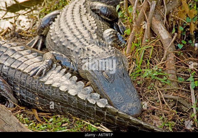 American alligators Everglades National Park Florida fl nature birding wildlife - Stock Image