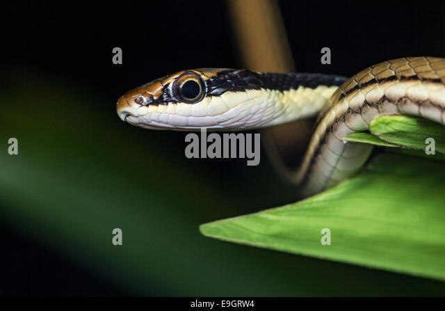 Painted Bronzeback Tree Snake (Dendrelaphis pictus) - Stock Image