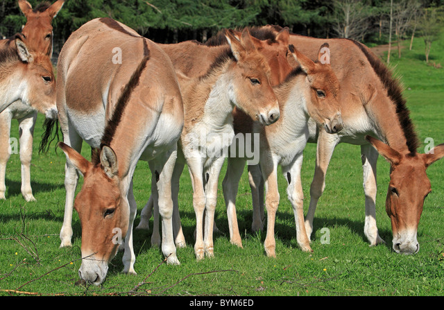 Kiang, Tibetan Wild Ass (Equus hemionus kiang). Grazing herd with foals at the Highland Wildlife Park, Scotland. - Stock Image