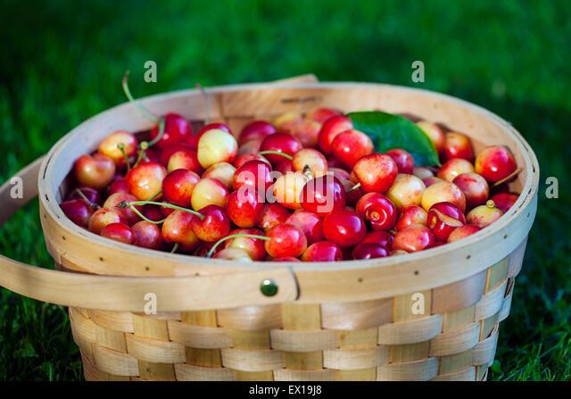 Basket full of sweet cherries - Stock Image