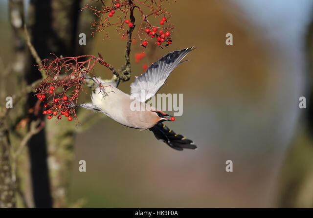 Waxwing (Bombycilla garrulus) taking off with plucked berry Norwich Norfolk UK November - Stock-Bilder