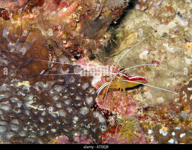 Cleaner Shrimp Stock Photos & Cleaner Shrimp Stock Images - Alamy