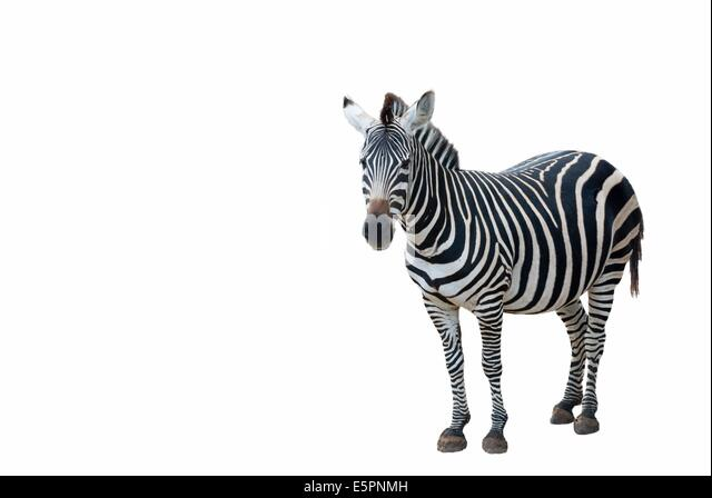 Side view of a young zebra standing on white background - Stock Image