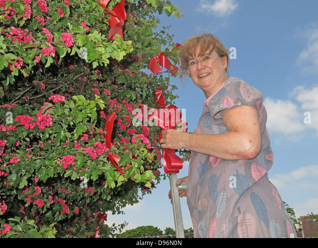 Preparing the famous Thorn tree at Appleton Thorn village, South Warrington, England  for the annual June  'Bawming - Stock Image