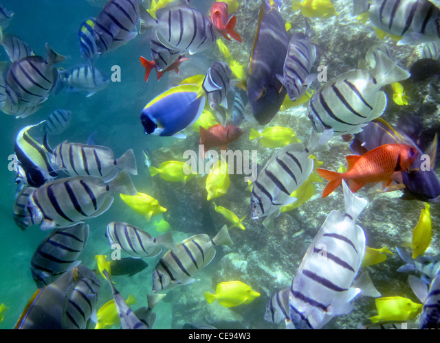 Variety of tropical fish. Hawaii, The Big Island - Stock Image