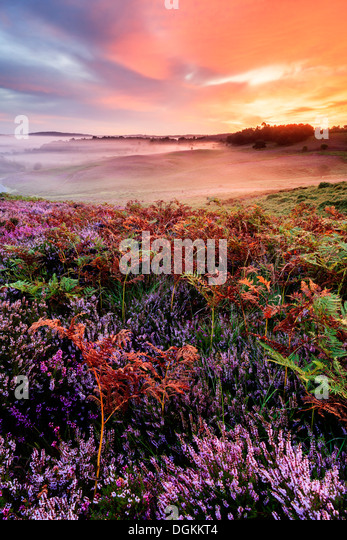Heather and bracken at sunrise on Rockford Common in the New Forest. - Stock Image