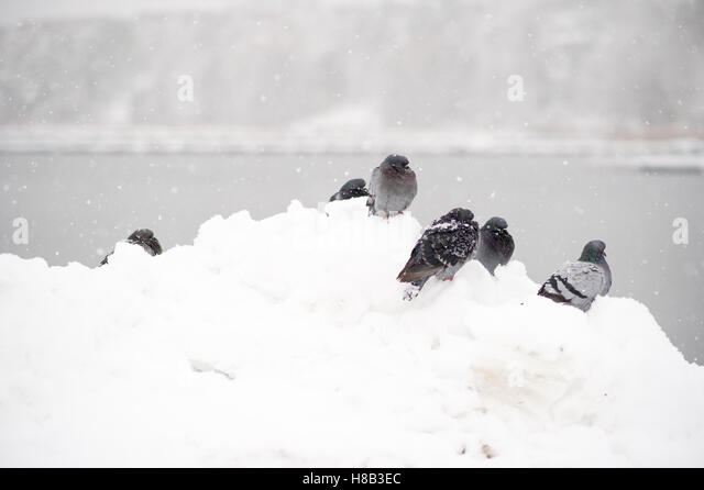 Freezing doves in a snowy Sweden. - Stock Image