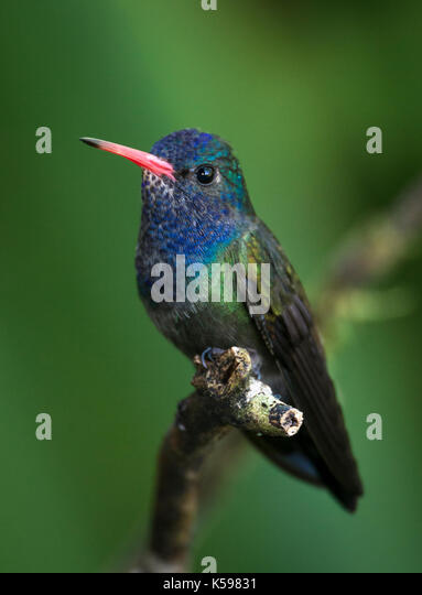 A White-chinned Sapphire from the Atlantic Rainforest, of SE Brazil - Stock Image