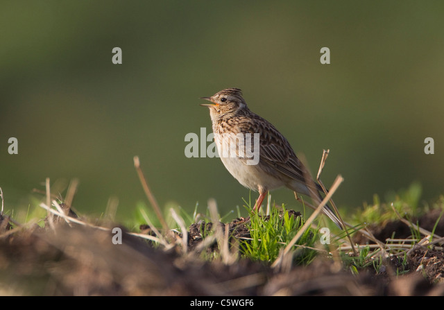 Skylark (Alauda arvensis), singing adult on ground in breeding habitat, Scotland, Great Britain. - Stock Image