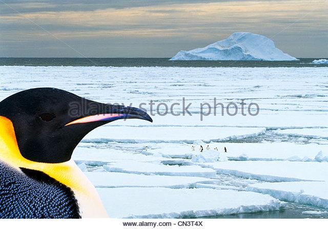 Emperor penguin, Antarctica (composite) - Stock Image