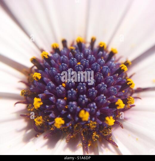 Macro of an Osteospermum fructicosum flower covered with pollen. - Stock-Bilder