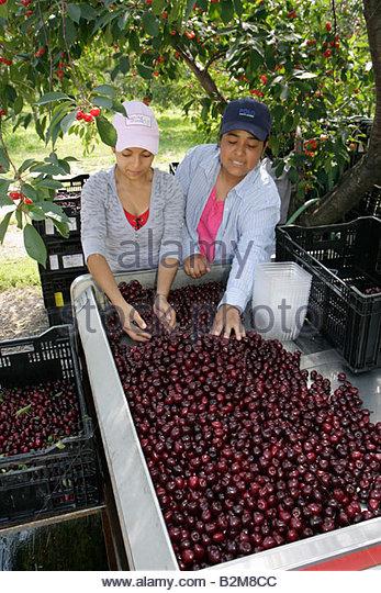 Michigan Traverse City Old Mission Peninsula sweet cherries Hispanic woman women worker laborer agriculture farm - Stock Image