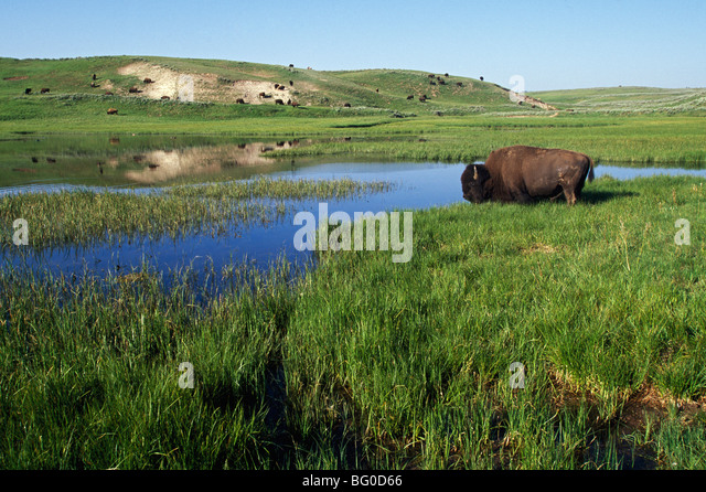 Bison at edge of pool, Hayden Valley, Yellowstone National Park, Wyoming, USA - Stock Image