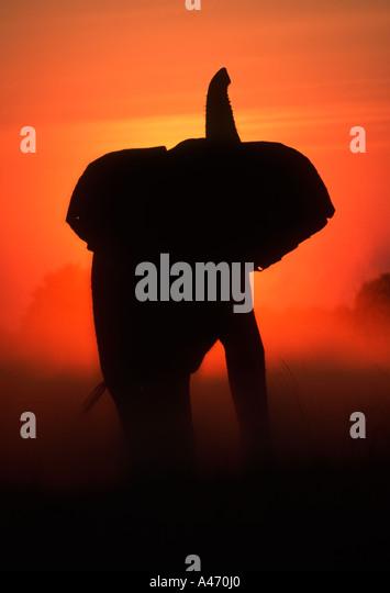 African elephant Loxodonta africana In silhouette against sunset Sub Saharan Africa - Stock-Bilder