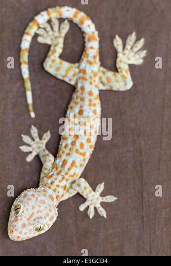 A large adult Tokay Gecko (Gekko gecko) - Stock Image