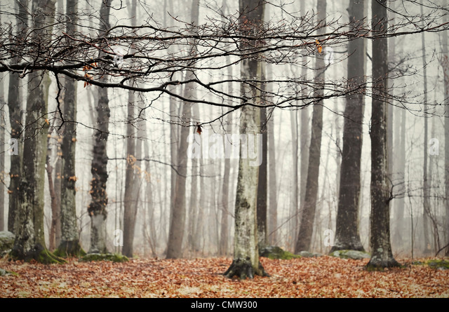 Birch trees in foggy atmosphere - Stock Image