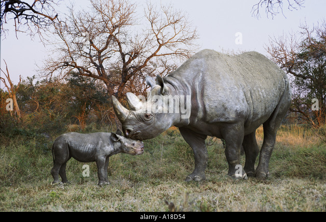 Black rhino mother and baby - Stock Image