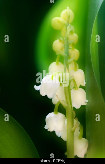 Convallaria majalis Lily-of-the-valley - Stock Image