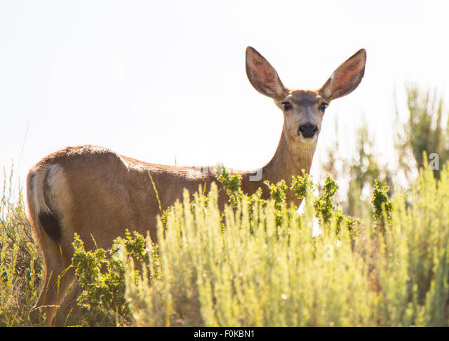 Wildlife, Mule Deer peaking through sagebrush, Soldier Mountains, Camas Prairie-Fairfield area, Idaho, USA - Stock Image
