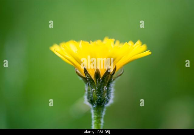 Dandelion flower close up.  Latin name:Taraxacum Officinale - Stock Image
