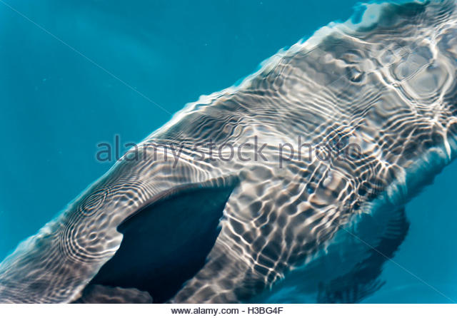 close up view of Stenella dolphin piercing the water's surface - Stock Image