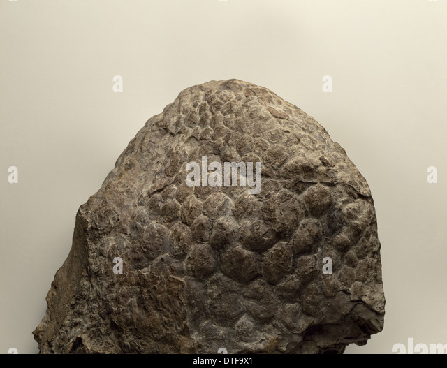 Sauropod skin impression - Stock Image