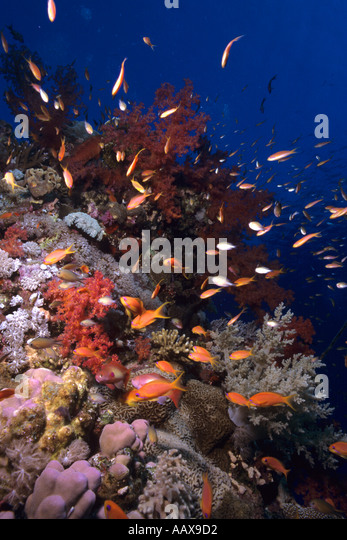 soft corals and reef fish in the Red Sea - Stock Image