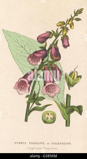 FOXGLOVE         Date: 19th century - Stock Image