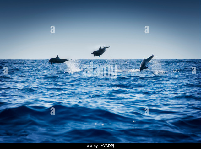 Dolphins playing in the ocean - Stock Image