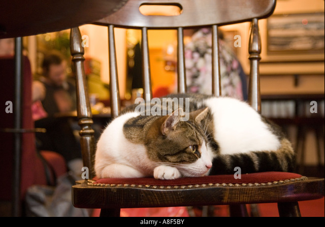 Pub cat on chair London England UK - Stock Image