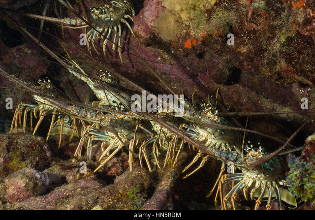 A gathering of Caribbean spiny lobsters hides under a ledge. - Stock-Bilder