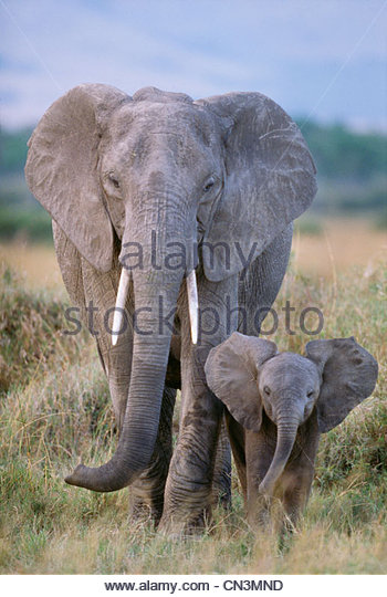 African elephant cow and calf, Amboseli National Park, Kenya - Stock Image