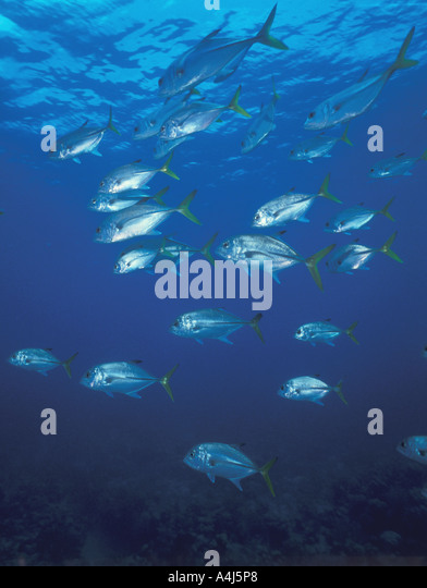 schooling fish jack crevalle jack Underwater salt water hard fighting fish - Stock Image